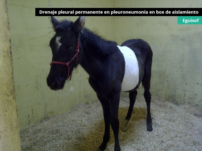 drenaje-pleural-permanente-en-pleuroneumonia_0