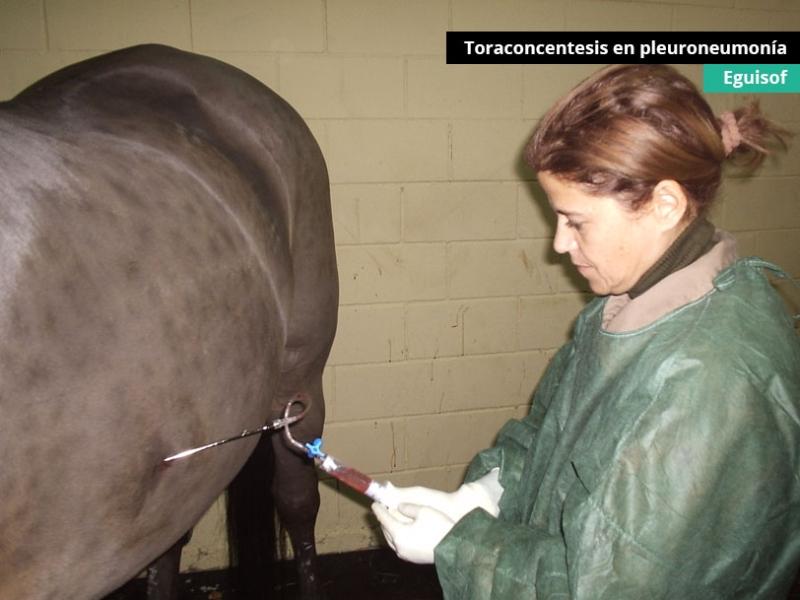 toraconcentesis-en-pleuroneumonia